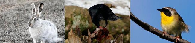 La lepre della prateria, il corvo imperiale e il gola gialla comune sono animali che hanno tratto benefici dal ritorno del lupo. Potevo metterne altri ma questi hanno delle facce simpatiche. Immagini da Wikimedia Commons
