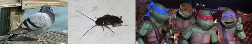 Molte specie hanno imparato a vivere a stretto contatto con l'uomo. Da sinistra verso destra un piccione selvatico occidentale (Columba livia), uno scarafaggio nero comune (Blatta orientalis) e 4 esemplari di Testudo kawabangii.