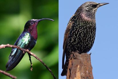 Un colibrì gola viola (Eulampis jugularis) che mette in mostra tutta la potenza dei suoi colori strutturali. Siccome non lo vedrete mai nel vostro giardino a fianco trovate uno storno (Sturnus vulgaris) che non fa scena ma ha il piumaggio viola metallico che rende l'idea. Immagini Wikimedia Commons