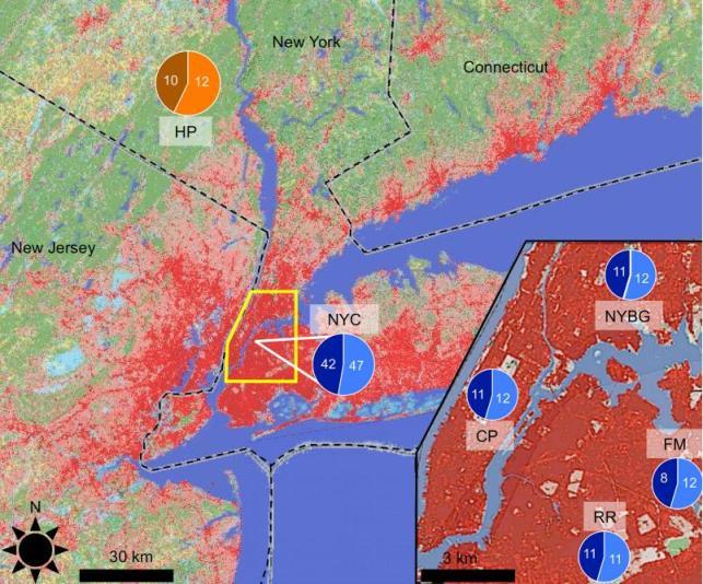 """Aree di provenienza dei topi. I 4 campionamenti cittadini sono mostrati in basso a destra, l'azzurro rappresenta i maschi mentre il blu le femmine. Il campione """"rurale"""" in alto a sinistra presenta invece le femmine in marrone ed i maschi in arancione. Immagine modificata da Harris et al. 2013."""