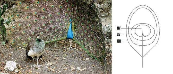 """Un maschio di pavone cerca di convincere una femmina che essere """"solo amici"""" non è un opzione. Immagine Wikimedia Commons. A fianco, uno schema delle aree che compongono un ocello. Immagine modificata da Loyau et al. 2007"""