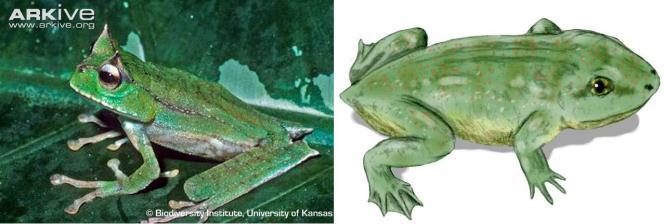 A sinistra una delle poche immagini esistenti di G.guentheri. A destra una ricostruzione di T.massinoti. La tristissima storia di questo anfibio è già stata scelta da Tim Burton per un film. Johnny Depp ha avuto il ruolo di Triadobatrachus. Immagini Biodiversity institute (University of Kansas)e Wikimedia Commons