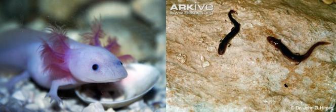 Un axolotl (Ambystoma mexicanum), l'anfibio che è praticamente obbligatorio mettere quando si parla di pedomorfosi se no ti vengono a prendere a casa. A fianco, due esemplari pedomorfici di E.troglodytes. Foto delle forme metamorfiche non c'erano. Fatemi causa. Immagini Wikimedia Commons e Dr John Himes.