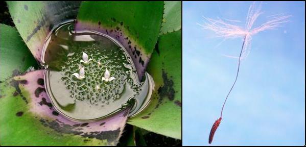 Fitotelma di Neoregelia concentrica. A fianco,le piante volano! seme di Taraxacum officinale. Immagini Wikimedia Commons