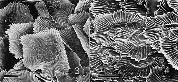 Tricomi peltati di Tillansia baileyi e T.pseudobaileyi. Immagine modificata da Journal of the Bromeliad Society, Volume XXXVI