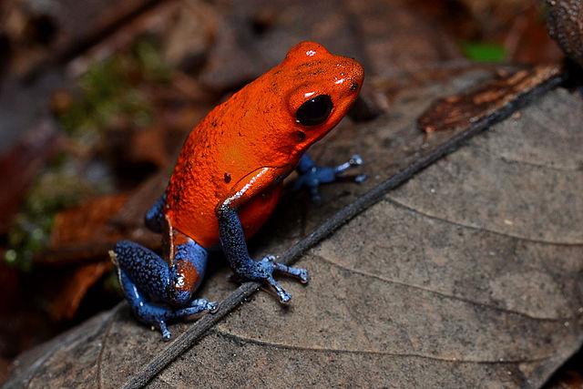 Oophaga pumilio è una rana così tenera e colorata che verrebbe da abbracciarla. Non fatelo. Immagine Wikimedia Commons