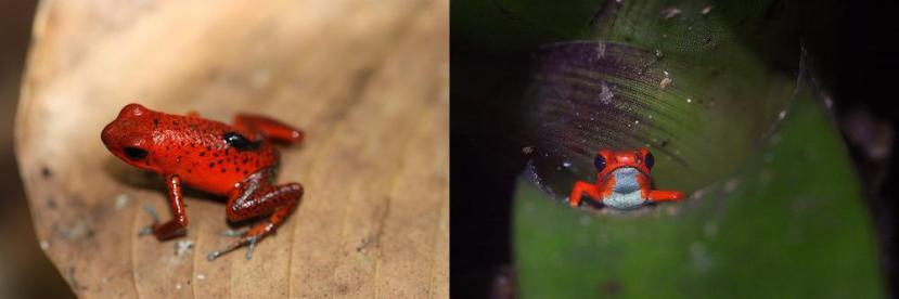 Una femmina di Oophaga pumilio trasporta un girino. A fianco, un'altra femmina fa capolino da un fitotelma. Immagini Aposematic herpetologist e Peter Nijenhuis.