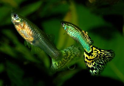 Una femmina e un maschio di P.reticulata. Immagini Wikimedia Commons