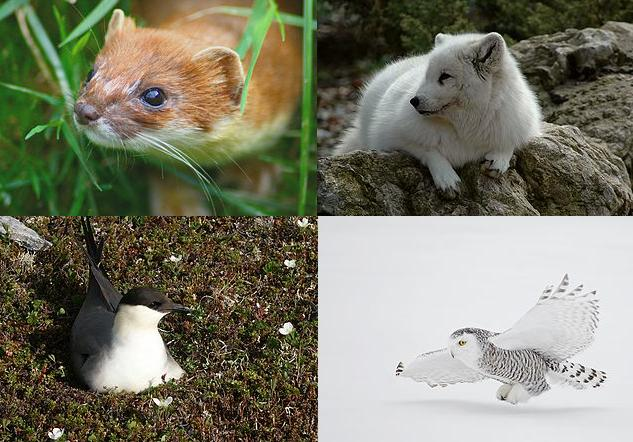 Tre predatori di lemming e una mascotte per scuole di magia con norme di sicurezza da rivedere. Immagini Wikimedia Commons