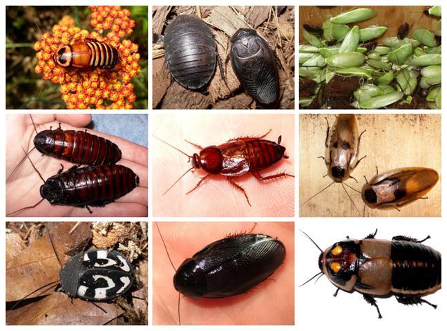 Un piccolissimo assaggio della biodiversità degli scarafaggi. Immagini di Roach Crossing (LINK). Esatto, un sito interamente dedicato alla vendita e all'allevamento di blatte esotiche da compagnia. Se avete appena esultato, allora siamo sulla stessa lunghezza d'onda.