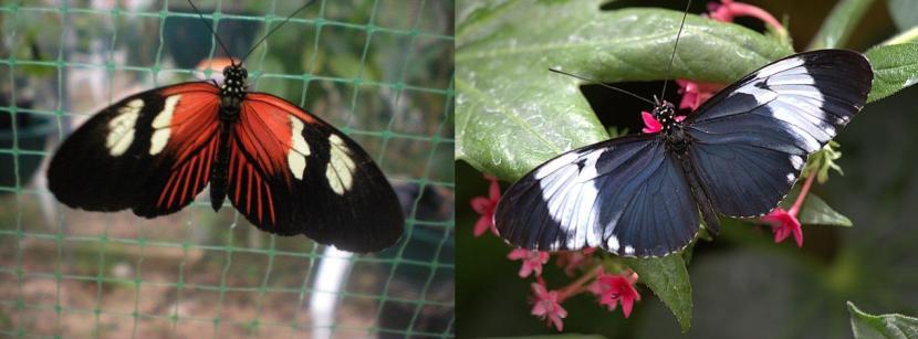 Helyconius melopomene e Helyconius cydno, due specie di farfalle che ibridano laddove i loro areali si sovrappongono. Immagini Wikimedia Commons