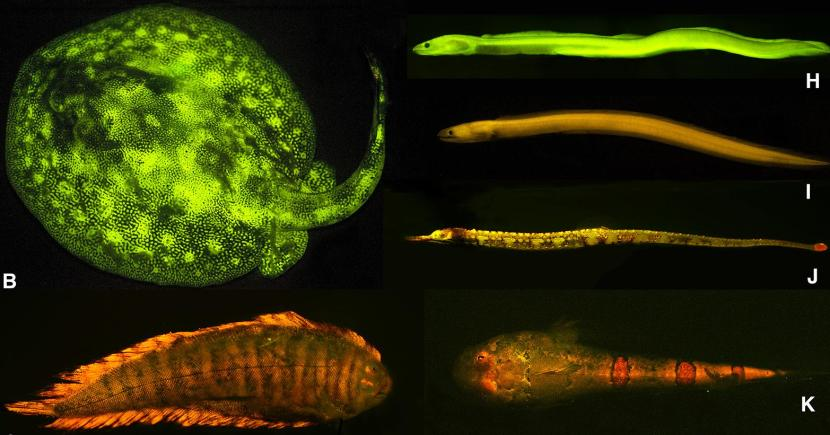 B, ray (Urobatis jamaicensis); C, sole (Soleichthys heterorhinos)(Kaupichthys brachychirus); I, false moray eel (Kaupichthys nuchalis); J, pipefish (Corythoichthys haematopterus); K, sand stargazer (Gillellus uranidea)