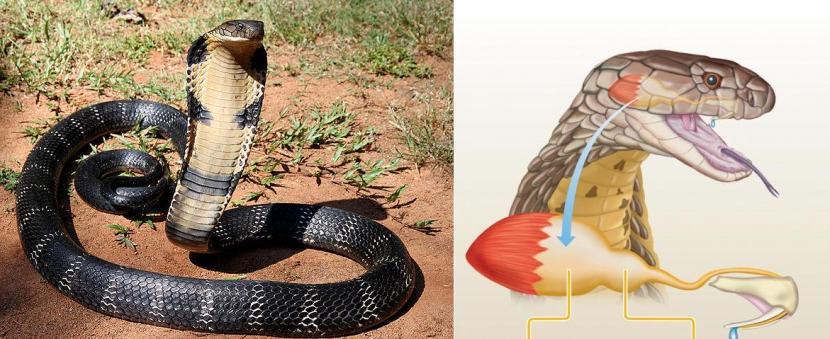 Il cobra reale, prima di attaccare, cerca di scoraggiare l'avversario mostrandosi in tutta la sua grandezza. A fianco, uno schema dell'apparato velenifero.