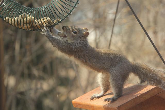 Ecco, tipo, dare da mangiare a una specie invasiva NON la farà andare via. Immagine Robert Engberg