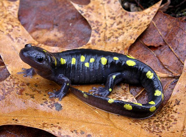 Una salamandra. Perché? Leggete sotto. Immagine www.ekmpowershop27.com.