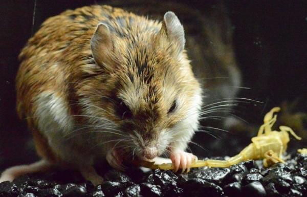 Nonostante il loro veleno gli scorpioni sono predati da altri animali come questo tenerissima macchina di morte, il topo canguro