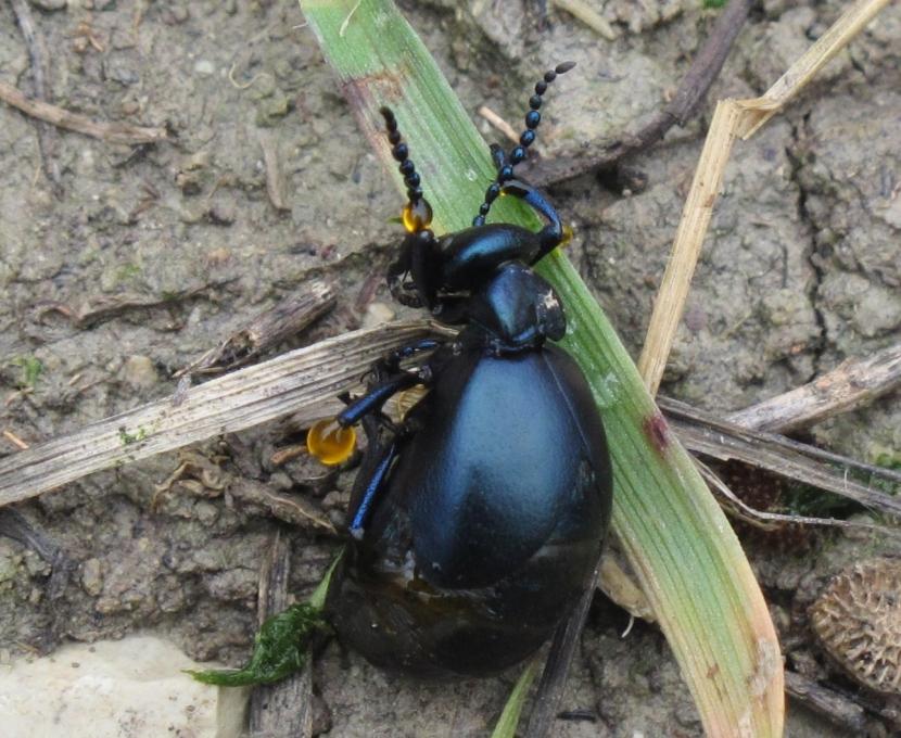 Modesta foto fatta dal sottoscritto a una femmina di Meloe sp. in autoemorrea.
