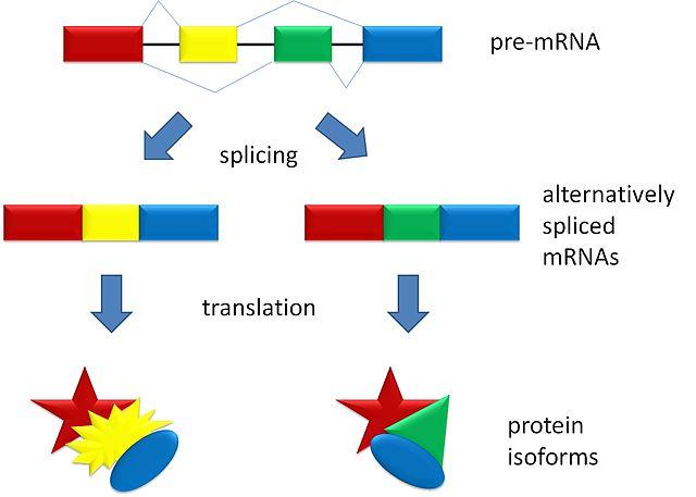 Splicing alternativo con disegnini! Daje che avete già fatto mezzo esame di biologia molecolare così. Immagine Wikimedia Commons