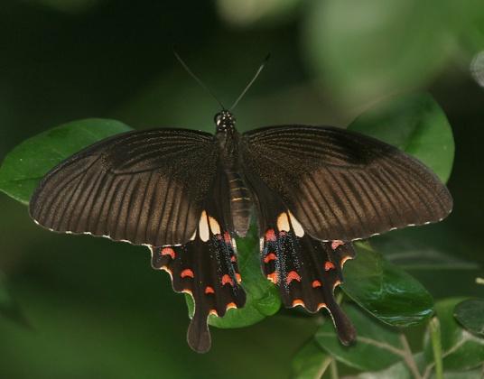 Ad una femmina di P.polytes della genetica frega anche 0, visto che vive in media 7/8 giorni. Immagine Wikimedia Commons