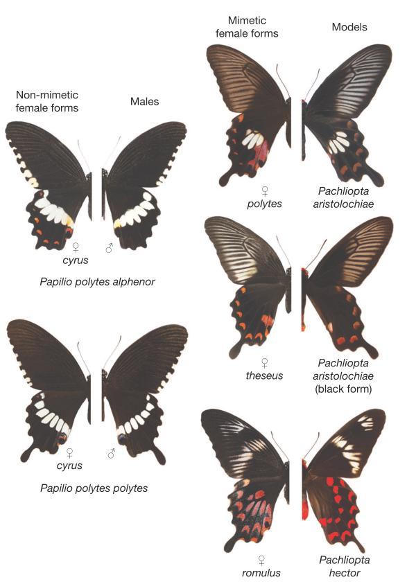 Le femmine non mimetiche (forma cyrus) assomigliano i maschi mentre gli altri tre forme (romulus, polytes, theseus) mimano farfalle velenose. Immagine Kunte et al. 2014