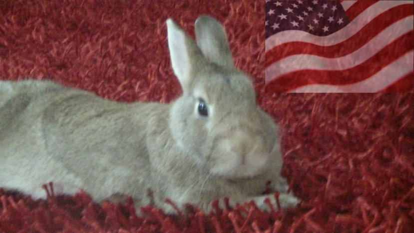 Un coniglio americano (Oryctolagus repubblicanensis) che non approva le scelte di vita delle lepri.