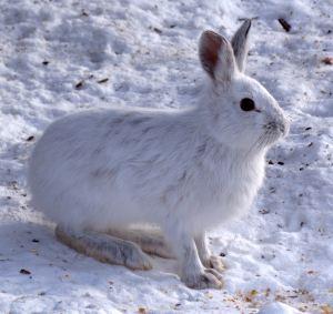 Lepre americana con mantello invernale. Immagine Wikimedia Commons