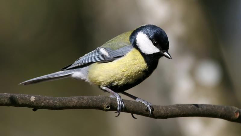 La cinciallegra (Parus major) è un uccellino socialmente monogamo. Immagine Wikimedia Commons