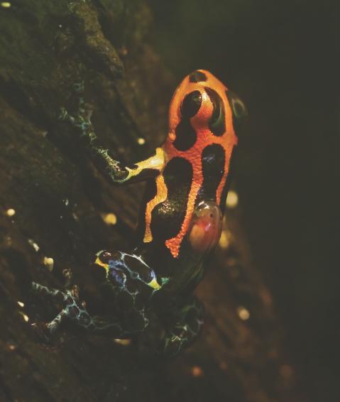 Un maschio di R.imitator intento a scarrozzarsi un piccolo. Immagine modificata Tumulty et al. 2014