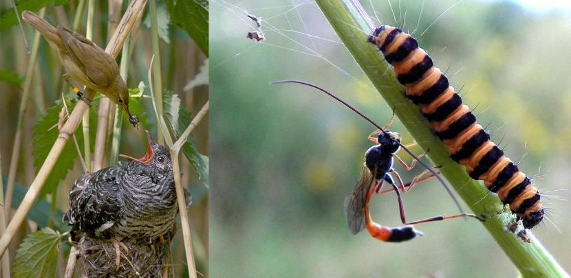 Un cuculo (Cuculus canorus), un parassita di covate, viene imbeccato da una cannaiola (Acrocephalus scirpaceus). A destra una vespa Icneumonidae cerca di depositare il suo uovo all'interno di un bruco. Immagini Wikimedia Commons e Peter aka anemoneprojectors