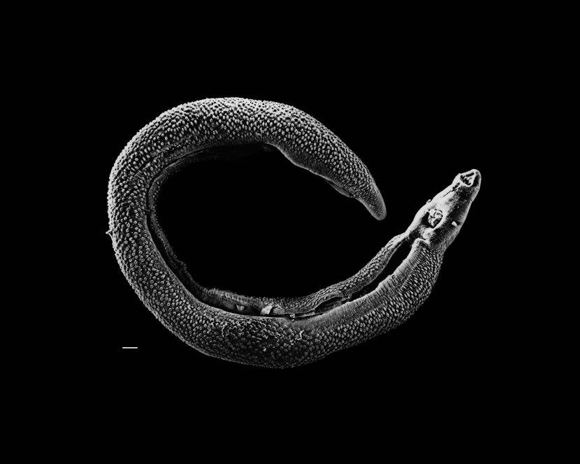 Schistosoma mansoni, un platelminte parassita di pochi centimetri. Immagine Wikimedia Commons