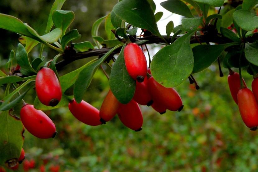 Frutti di Berberis vulgaris