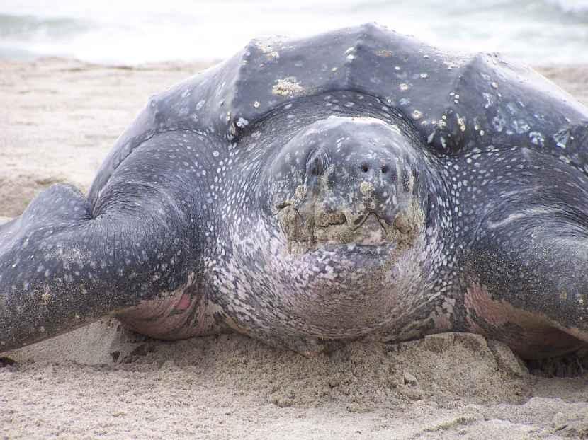 Un tartaruga liuto vista da vicino. Accarezzatela voi, prego. Immagine Wikimedia Commons