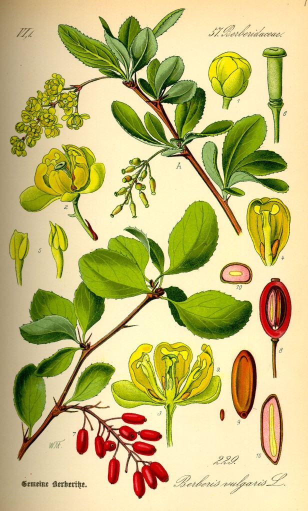 Berberis vulgaris in un illustrazione del 1885.