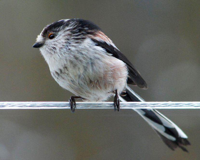 Codibugnolo (Aegithalos caudatus). Immagine Wikimedia Commons