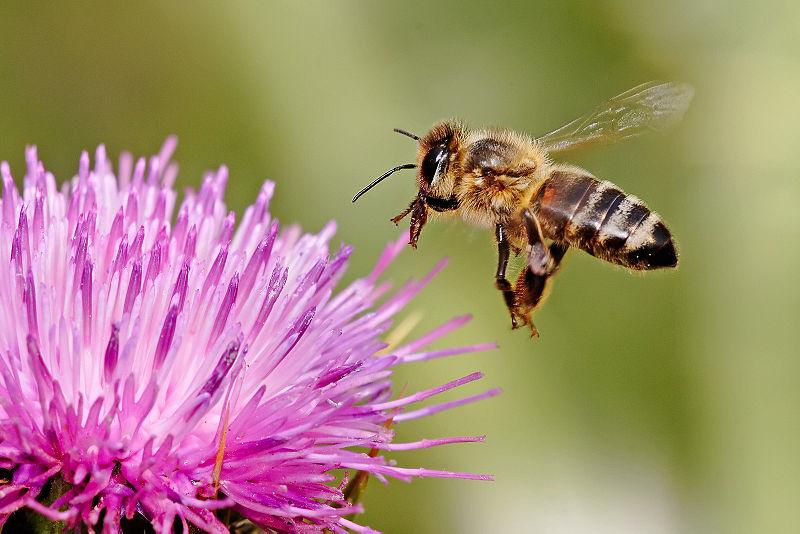 """""""Ehilà, sono un'ape, la poster girl dell'impollinazione"""" – Immagine Wikimedia Commons."""