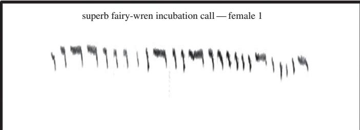 Canzone di incubazione di una femmina di maluro superbo. Immagine modificata da
