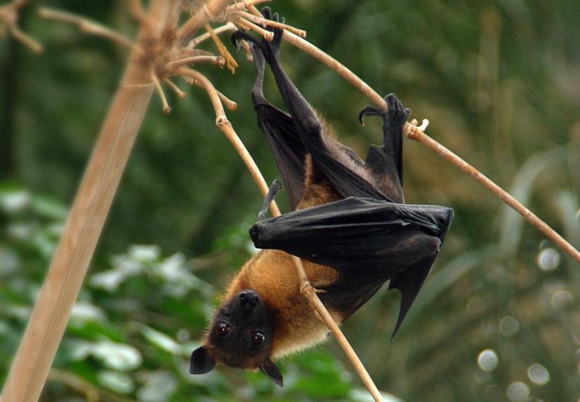 Pteropus giganteus, una volpe volante. Immagini Wikimedia Commons