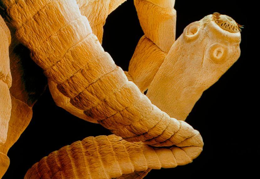 La nobile tenia non è popolare quanto lupi e tigri. Immagine fineartamerica.com