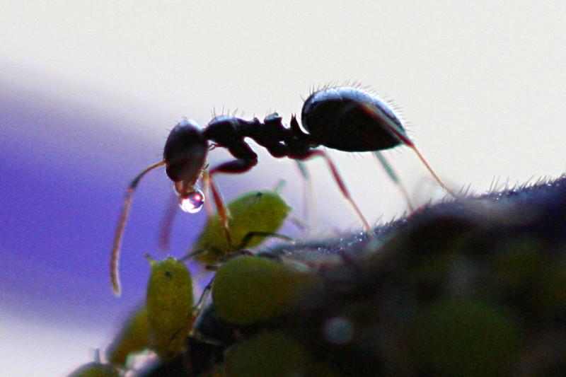 Una formica che intratiene una stretta relazione con degli afidi. Se andate avanti scoprite perché. Immagine Wikimedia Commons