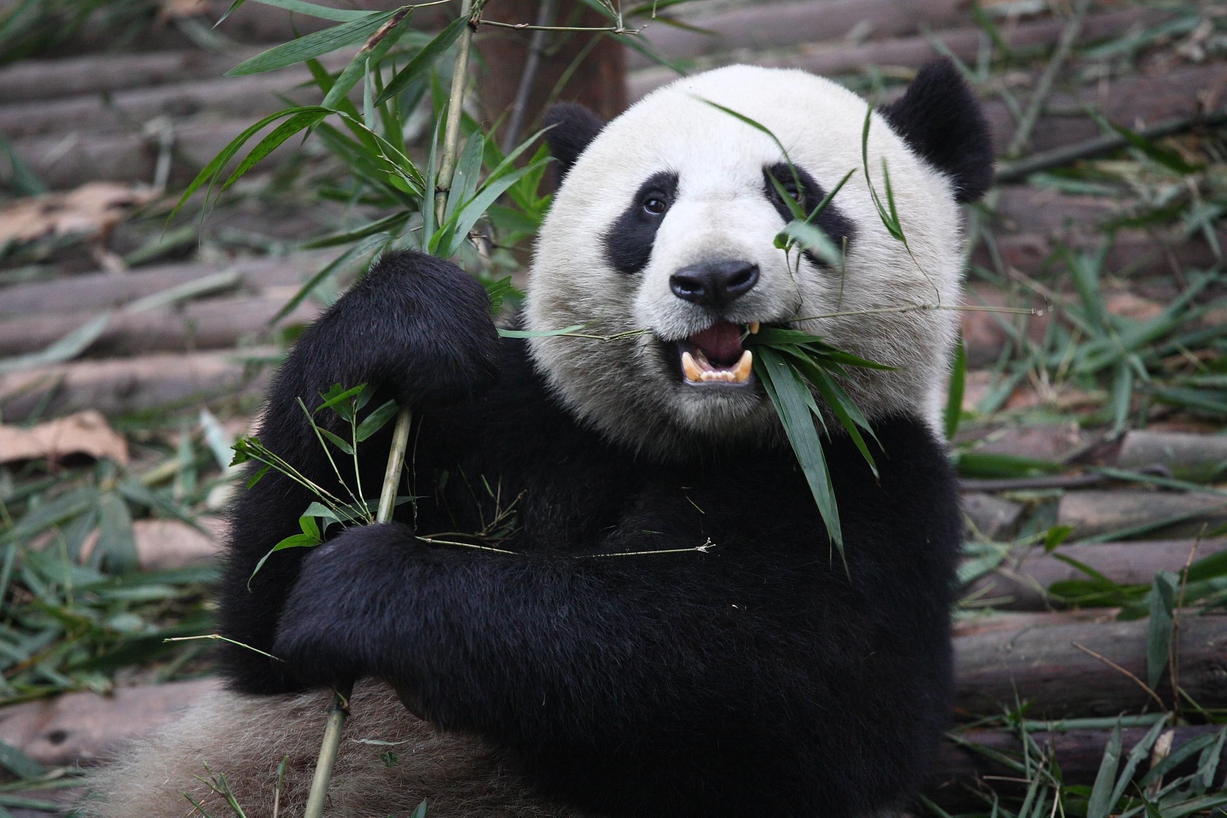 Panda Google Search Cute Pinterest Panda Bears In China