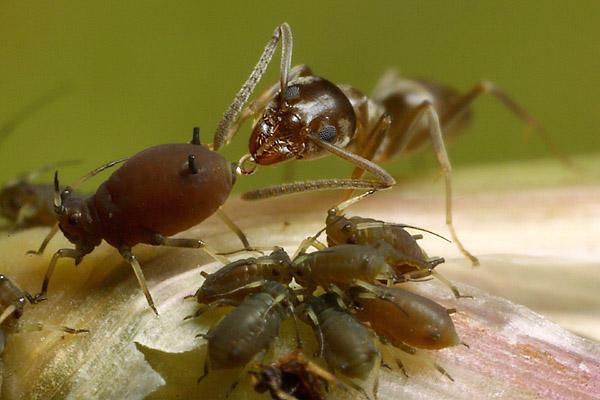 Qualcuno paragona le formiche con gli afidi a allevatori che proteggono e mungono le loro mucche. In realtà sarebbe più accurato se gli allevatori si abbuffassero di sterco direttamente dal posteriore della mucca. Salvo poi rigurgitarne parte a casa per gli altri membri della famiglia dell'allevatore. Immagine theahidroom.wordpress.com.
