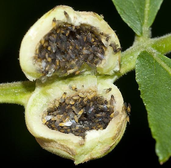 Una galla aperta, contenente una colonia di afidi. Immagine bugguide.net.