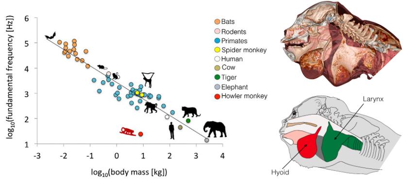 A sinistra un grafico che vi mostra l'andamento della frequenza di vocalizzazione e la massa dell'animale che le emette, in rosso le Alouatta. A destra uno schema della testa di una scimmia urlatrice. Immagini adattate da Dunn et al. 2015