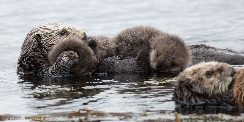 1280px-Mother_sea_otter_with_rare_twin_baby_pups_(9137187459)