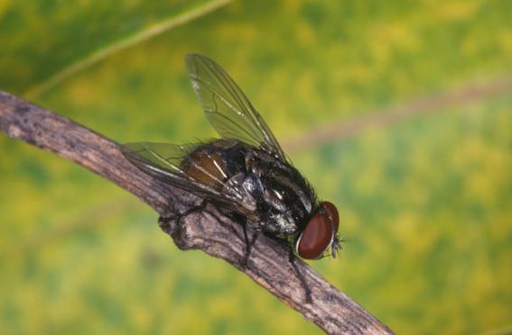 musca-vetustissima